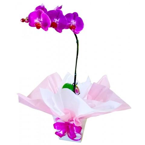 Orquídea Phalaenopsis Especial embalagem cachepô de papelão.